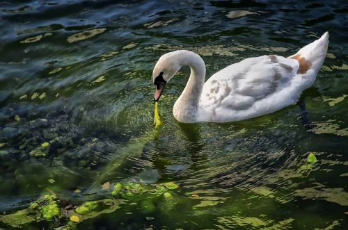 swan bird animals