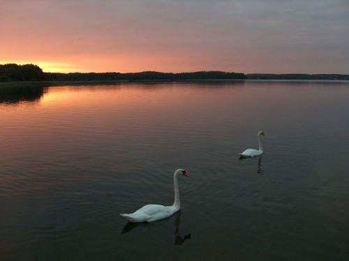 swan sunset lake