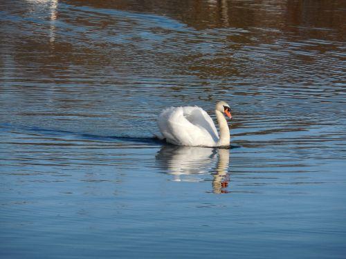 swan elegance lake