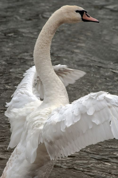 swan animals wing