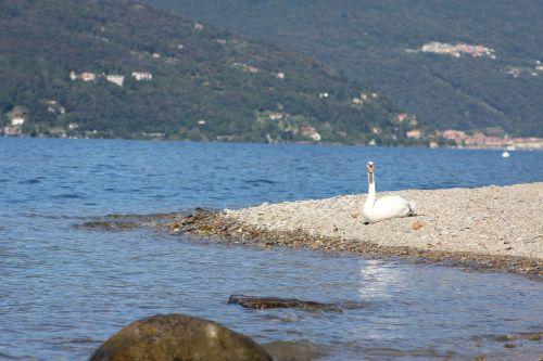 swan lake elegant