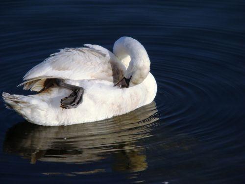 swan mute swan cygnus olor