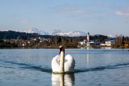 swan,bird,white,lake,water bird,nature,fly,departure,goose,animal world,animal,duck bird,gooseneck,water,daybreak,lechbruck,mountains,bavaria,landscape,sky,mirroring,blue,swim,church,free photos,free images,royalty free