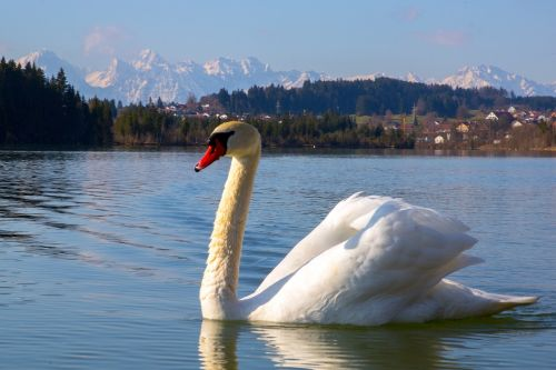 swan,bird,white,lake,water bird,nature,fly,departure,goose,animal world,animal,duck bird,gooseneck,water,daybreak,lechbruck,mountains,bavaria,landscape,sky,mirroring,blue,swim,free photos,free images,royalty free