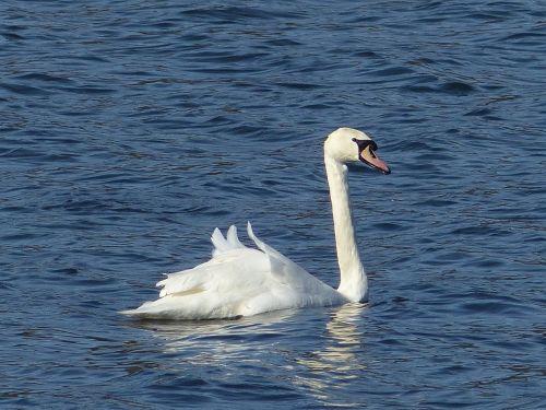 swan swans lake
