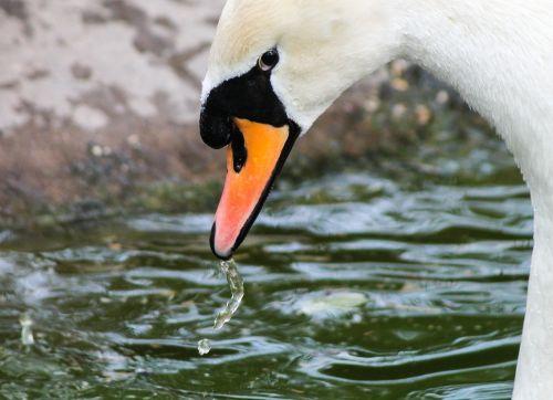 swan the swan white swan