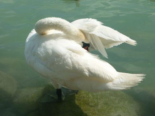 gulbė,Balaton ežeras,ežeras,paukštis,ežeras,gamta,gyvūnas