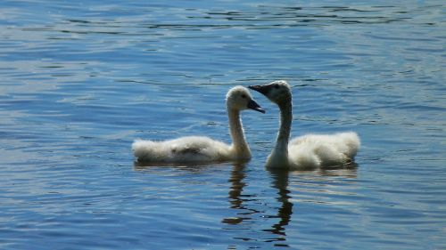 swan swans young swans