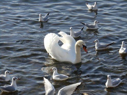 swan water animal