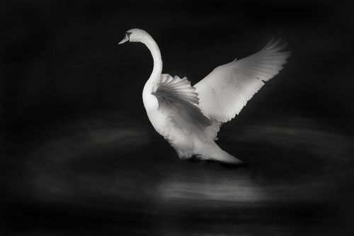 swan bird white bird