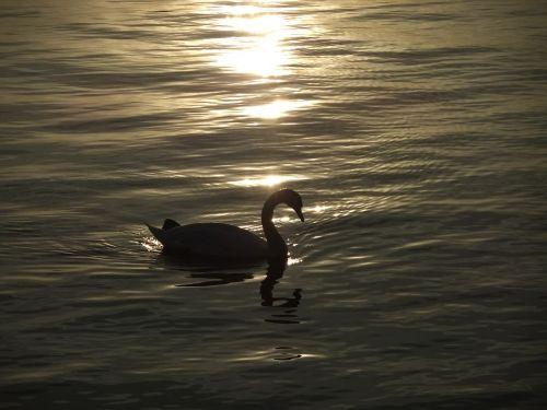 gulbė,naminis gyvūnėlis,vakaro saulė,paukštis,gamta,saulėlydis,aušra