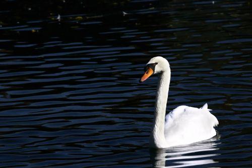swan cygnus new