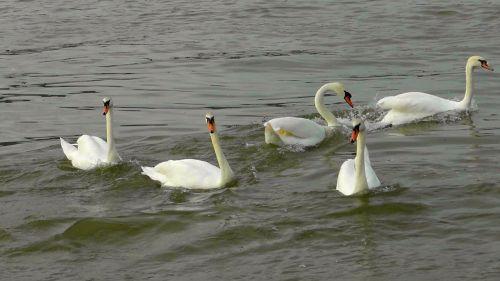 swan dance swans swan ballet