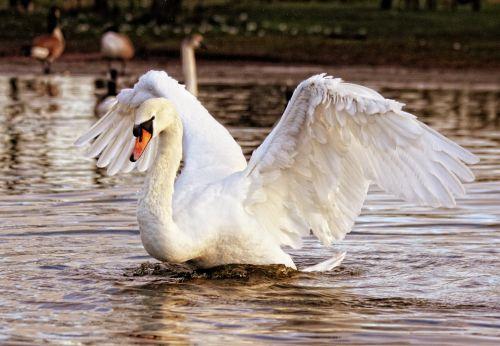 Swan Displaying Wings