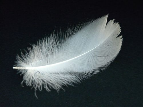 swan feather feather swan