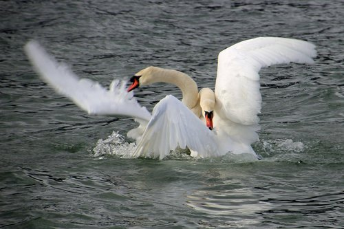 swan fight  fight  swan