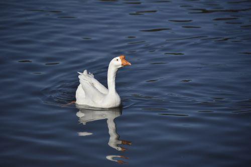 Swan Goose On Blue Lake