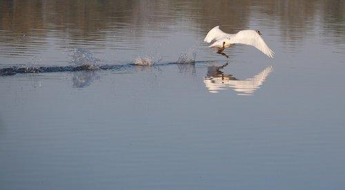 swan running on water  swan  water bird