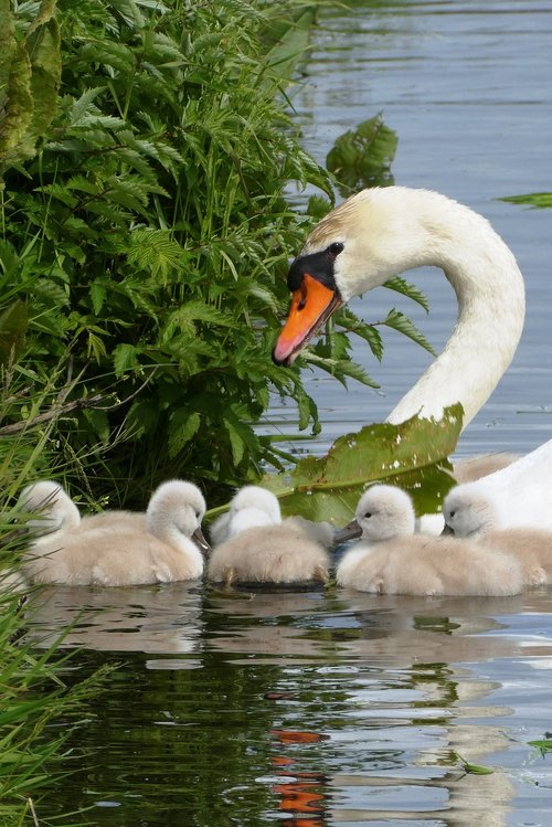 swan with chicks  swan  chicks