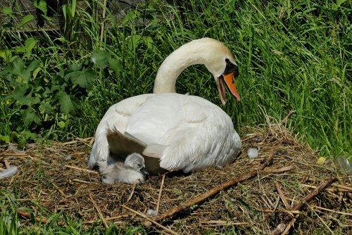 swan with young boy  nest  cygnet