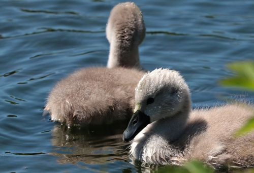 swan young waters baby swans