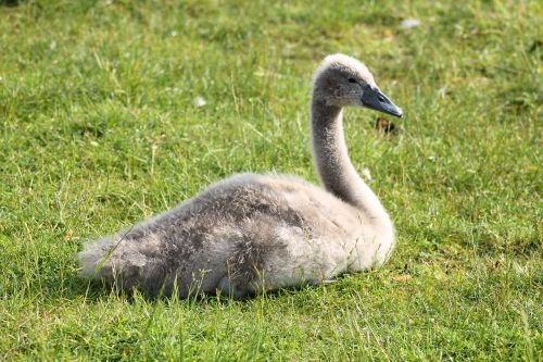 swan young swan mute swan