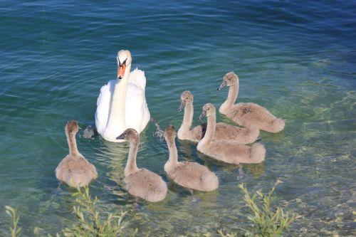 swans swan lake