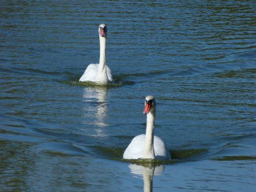 swans water birds