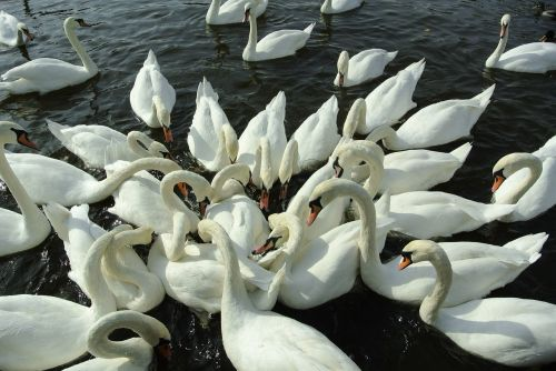 swans water river