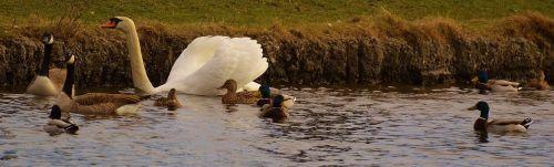 swans ducks geese