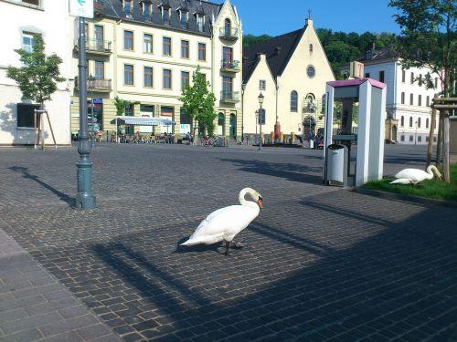 swans swan bird