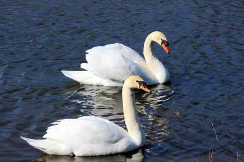 swans stool swans cygnus olor