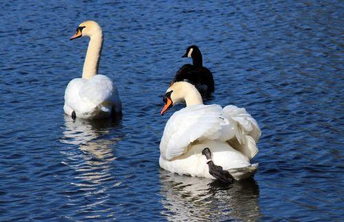 swans mute swans cygnus olor
