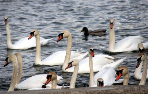 swans beak feathers