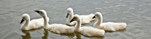 swans baby swans water