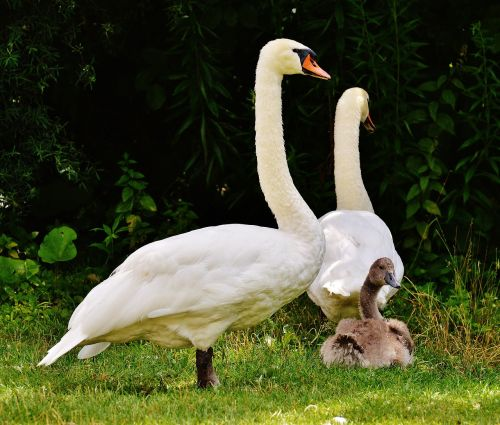 swans family wildlife photography