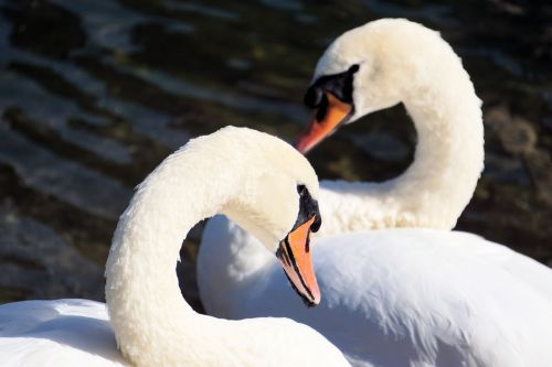 swans together water