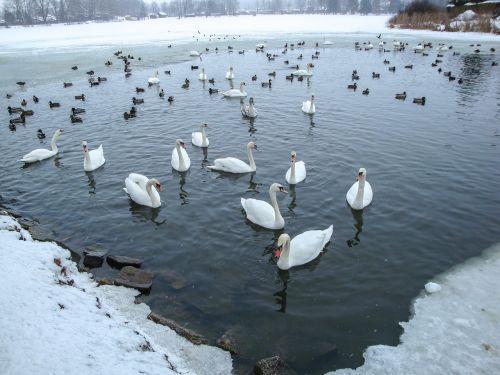 swans ducks pond