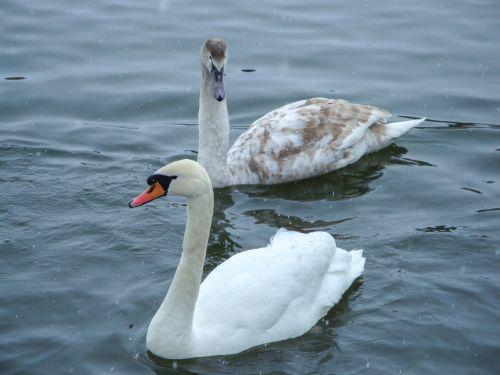 swans pond lake