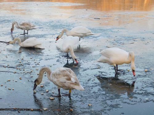 swans white swans water bird