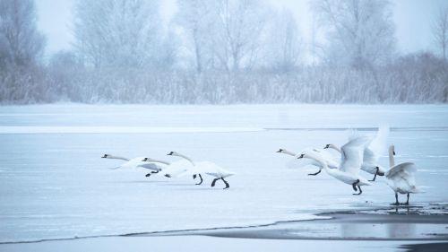 swans winter lake