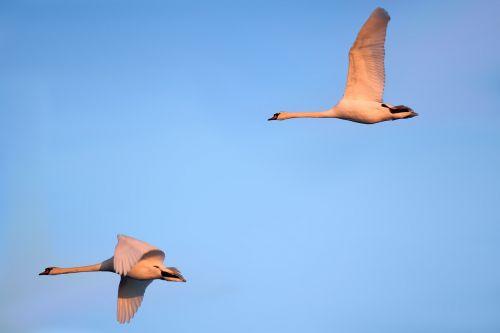 swans birds fly