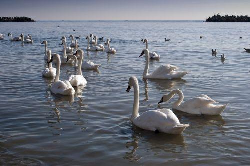 swans black sea sea