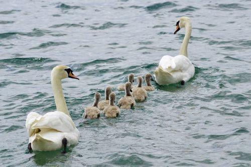 swans family swan