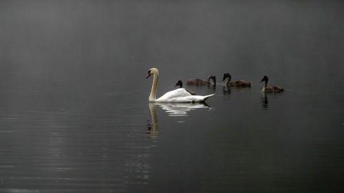 swans swan family mood