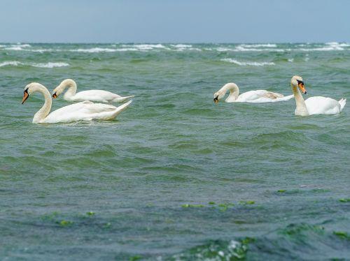 swans bird baltic sea