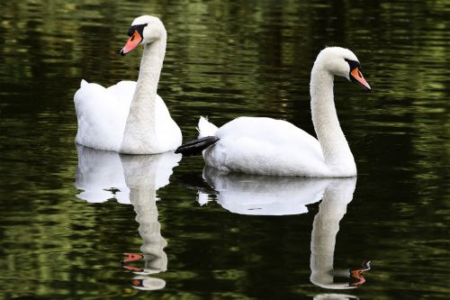 swans lovers laubach