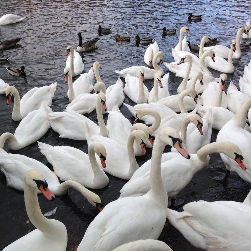 swans wild birds nature