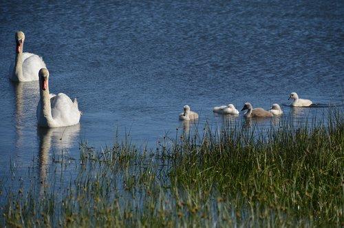 swans  chicks  sea