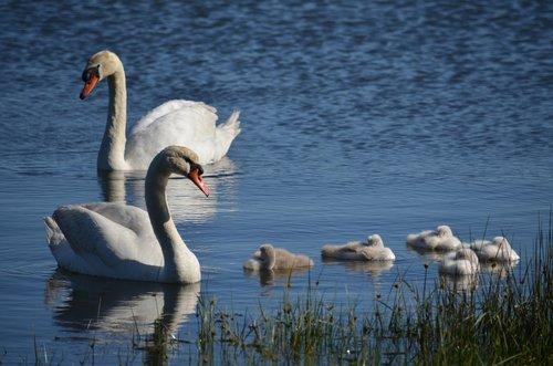 swans  galicia  sea
